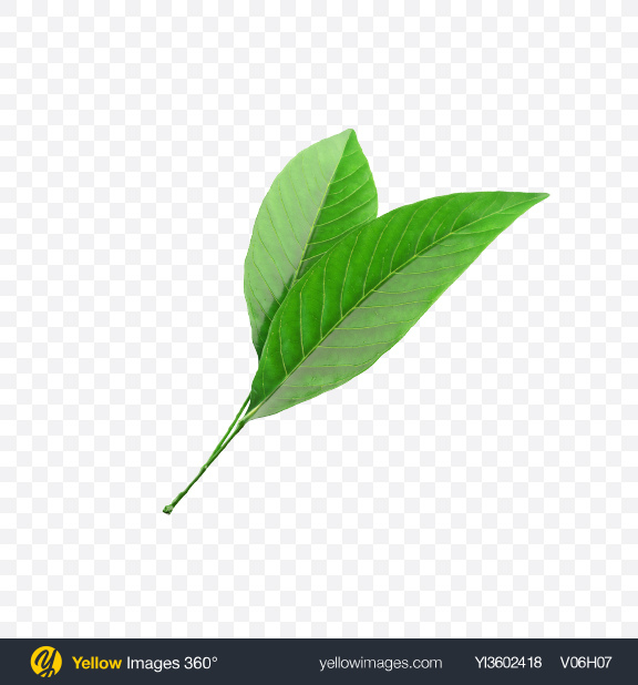 Download Citrus Leaves Transparent PNG on Yellow Images 360°