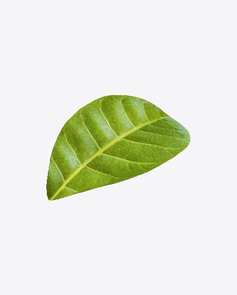 Cashew Leaf