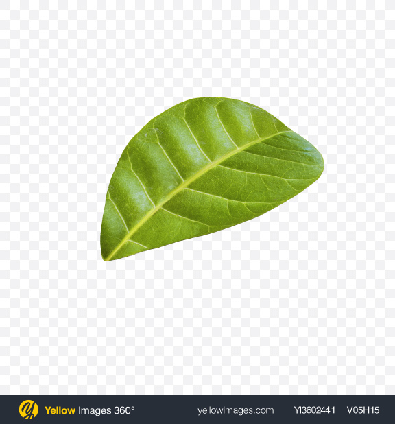 Download Cashew Leaf Transparent PNG on Yellow Images 360°