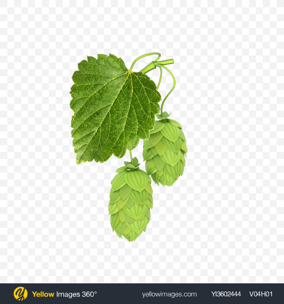 Download Hops Transparent PNG on Yellow Images 360°