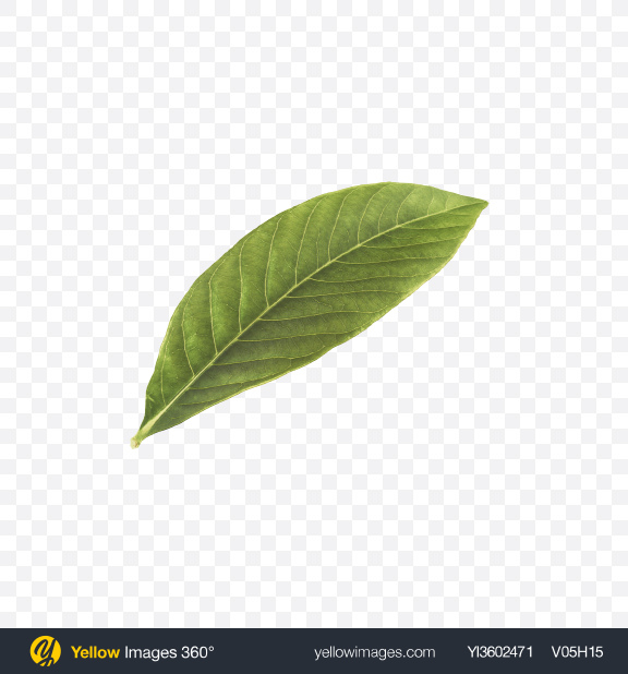 Download Walnut Leaf Transparent PNG on Yellow Images 360°