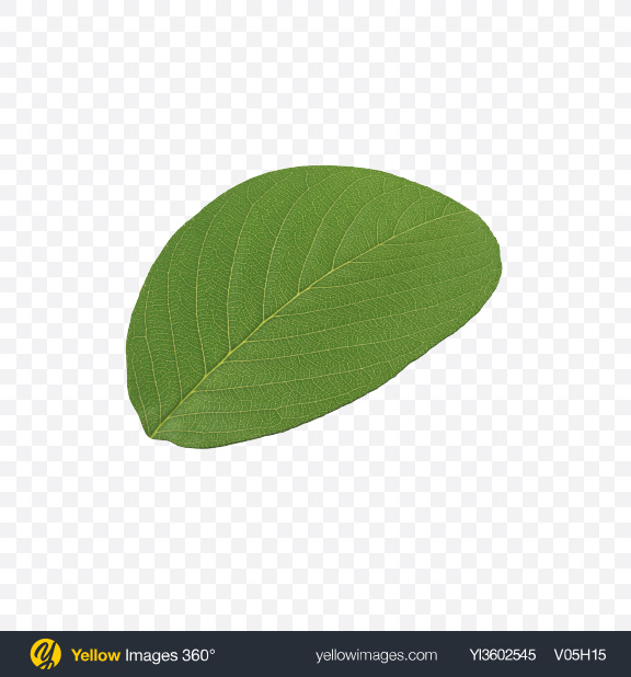 Download Pistachio Leaf Transparent PNG on Yellow Images 360°
