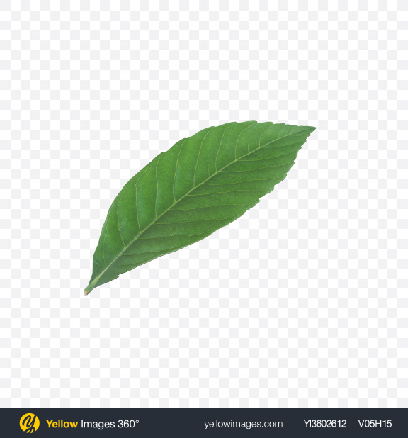 Download Pecan Leaf Transparent PNG on Yellow Images 360°