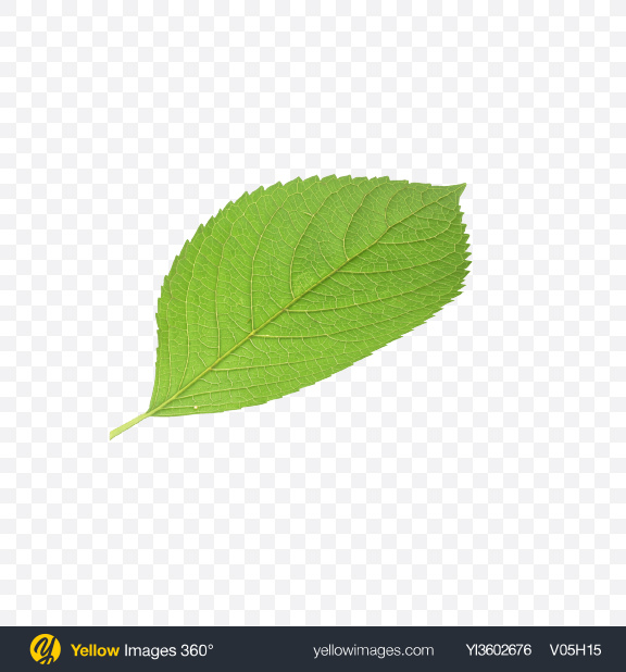 Download Apple Leaf Transparent PNG on Yellow Images 360°