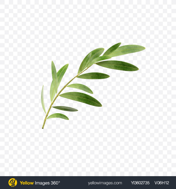 Download Olive Branch Transparent PNG on Yellow Images 360°
