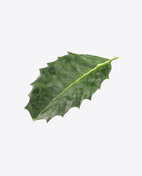 Holly Berry Leaf