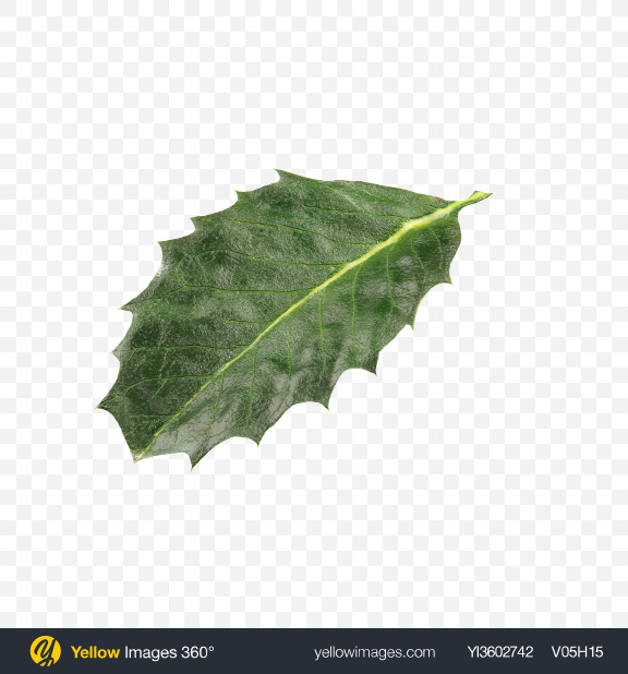 Download Holly Berry Leaf Transparent PNG on Yellow Images 360°