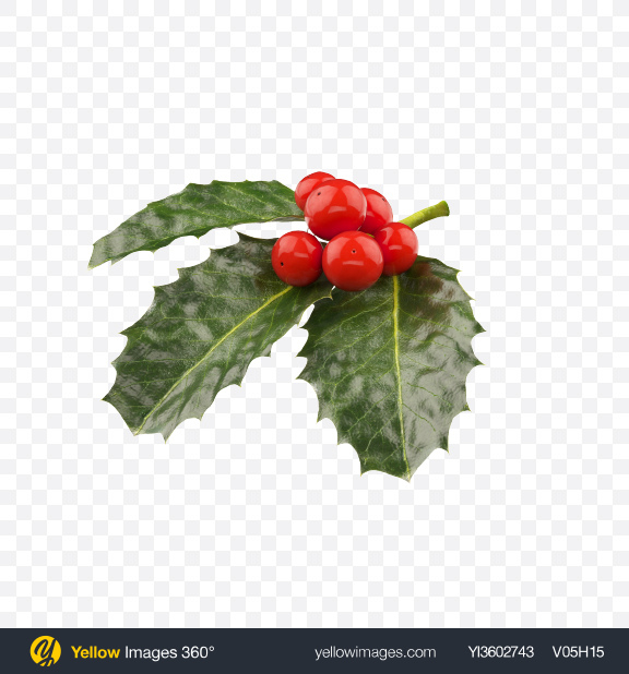 Download Holly Berries with Leaves Transparent PNG on Yellow Images 360°