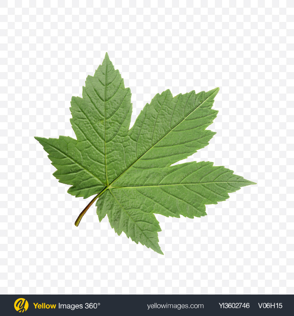 Download Currant Leaf Transparent PNG on Yellow Images 360°