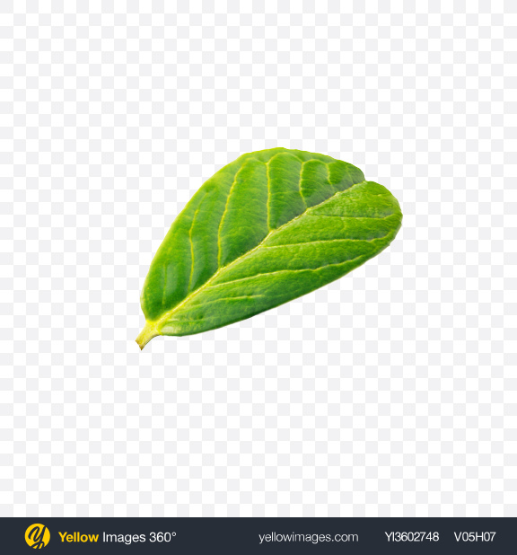 Download Lingonberry Leaf Transparent PNG on Yellow Images 360°