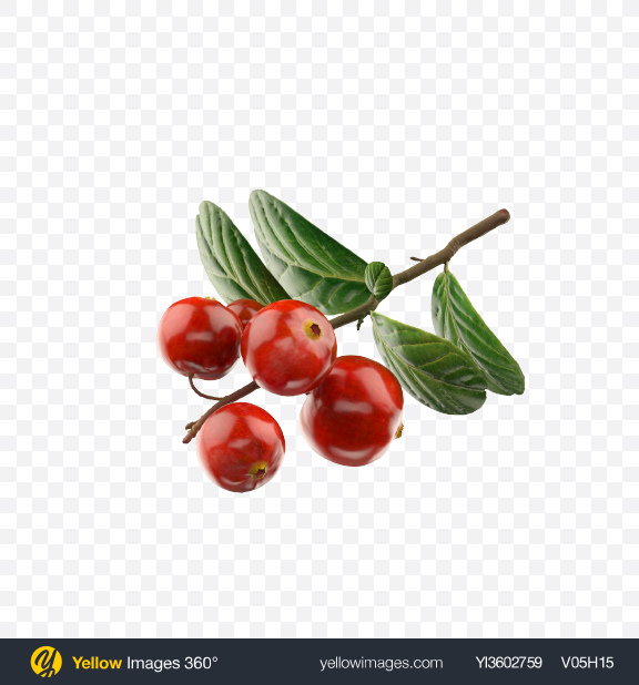 Download Branch of Lingonberry Transparent PNG on Yellow Images 360°