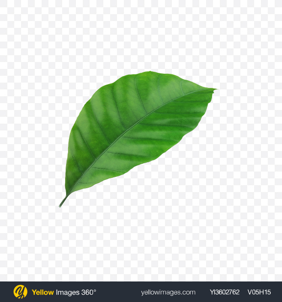 Download Coffee Leaf Transparent PNG on Yellow Images 360°
