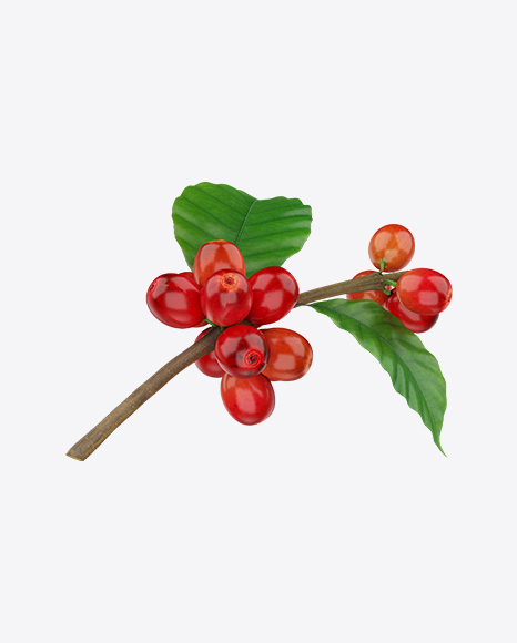 Branch with Coffee Berries