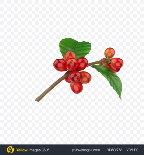 Download Branch with Coffee Berries Transparent PNG on Yellow Images 360°