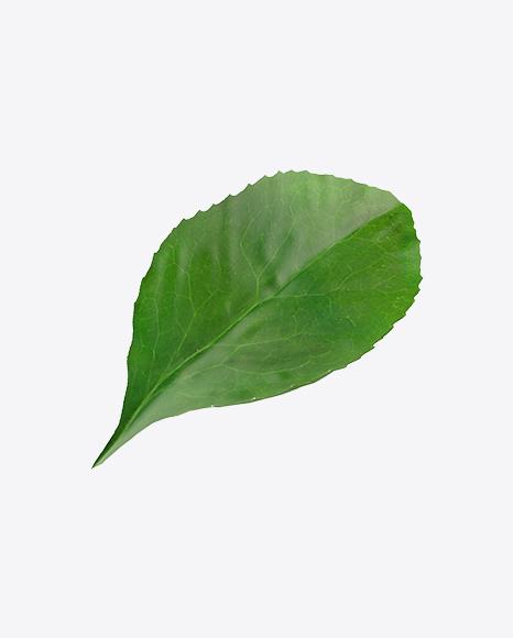 Barberrie Leaf