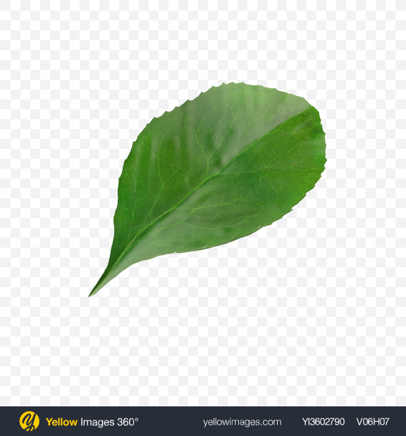 Download Barberrie Leaf Transparent PNG on Yellow Images 360°