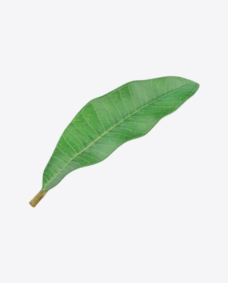 Brazil Nut Leaf