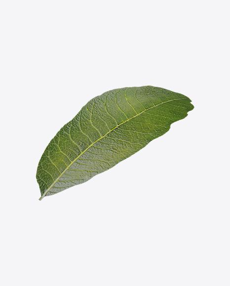 Longan Leaf