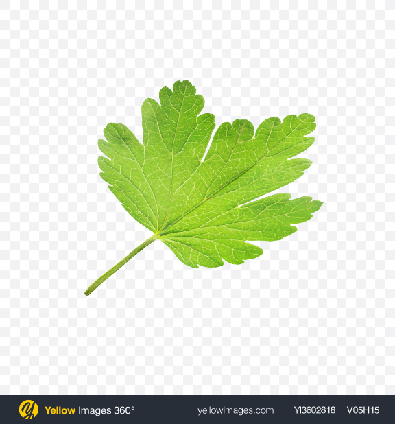 Download Gooseberry Leaf Transparent PNG on Yellow Images 360°