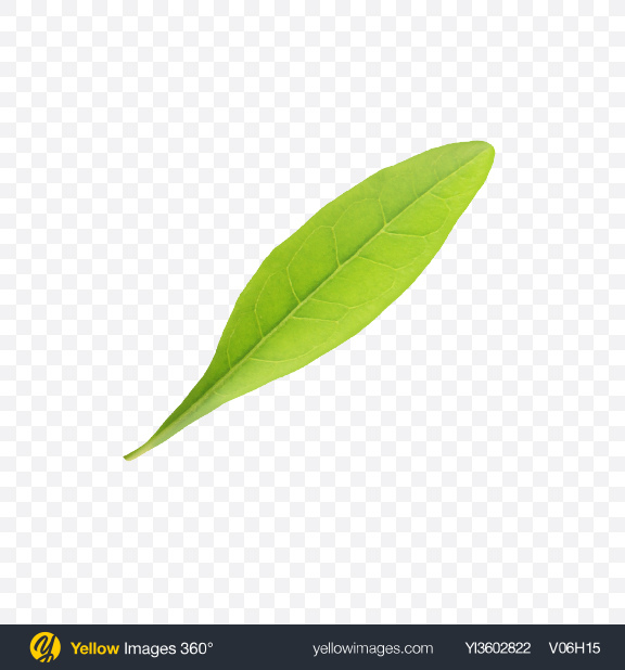 Download Goji Berry Leaf Transparent PNG on Yellow Images 360°