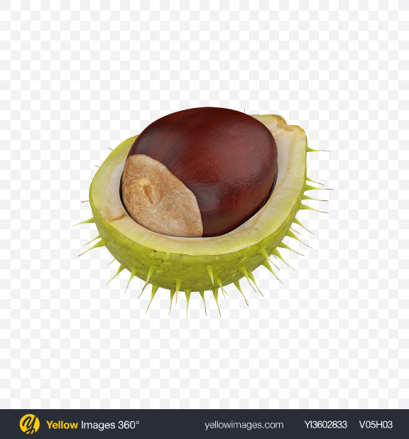 Download Chestnut in Shell Transparent PNG on Yellow Images 360°