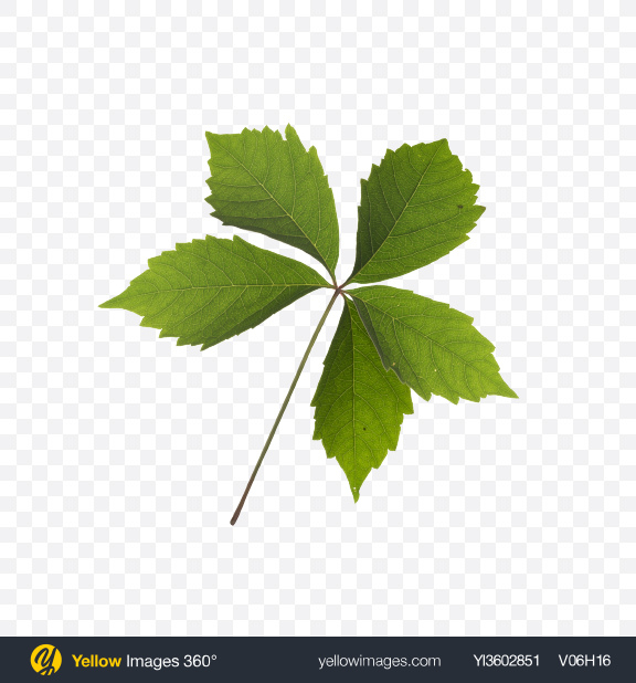 Download Chestnut Leaf Transparent PNG on Yellow Images 360°
