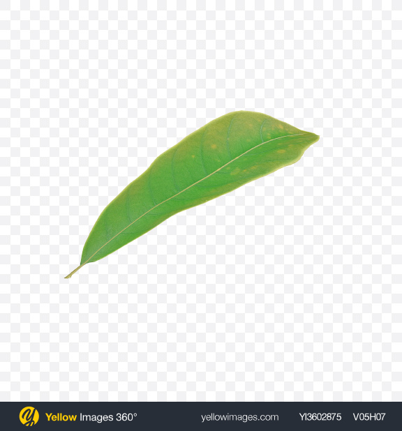 Download Macadamia Leaf Transparent PNG on Yellow Images 360°