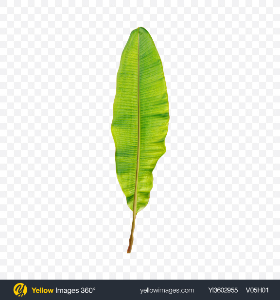 Download Banana Tree Leaf Transparent PNG on Yellow Images 360°