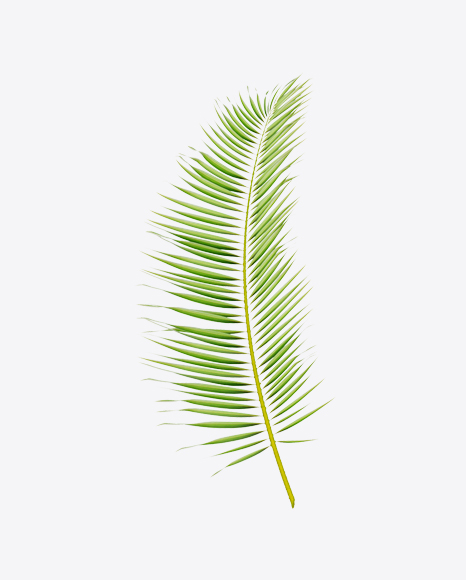 Areca Tree Leaf