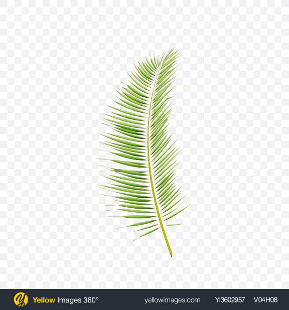 Download Areca Tree Leaf Transparent PNG on Yellow Images 360°