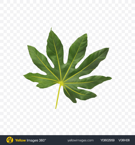 Download Aralia Tree Leaf Transparent PNG on Yellow Images 360°