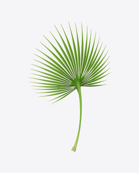 Cabbage Palm Tree Leaf