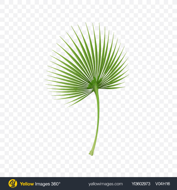 Download Cabbage Palm Tree Leaf Transparent PNG on Yellow Images 360°