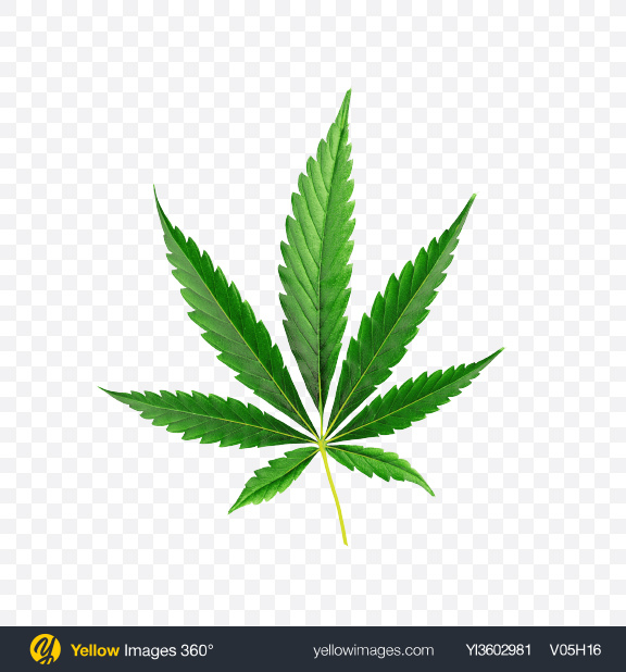 Download Cannabis Leaf Transparent PNG on Yellow Images 360°
