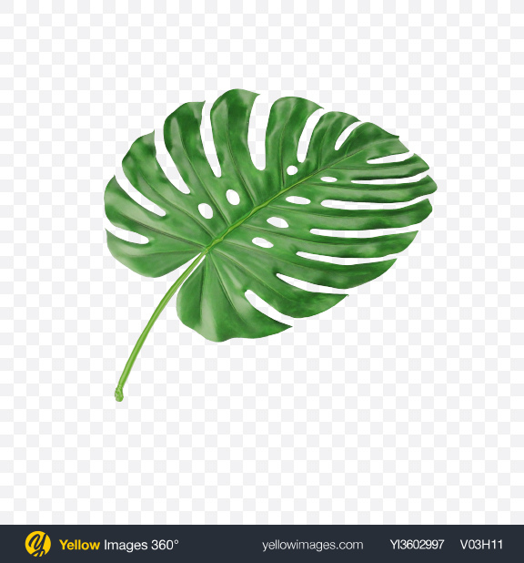 Download Monstera Leaf Transparent PNG on Yellow Images 360°