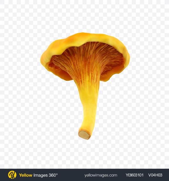 Download Chanterelle Transparent PNG on YELLOW Images