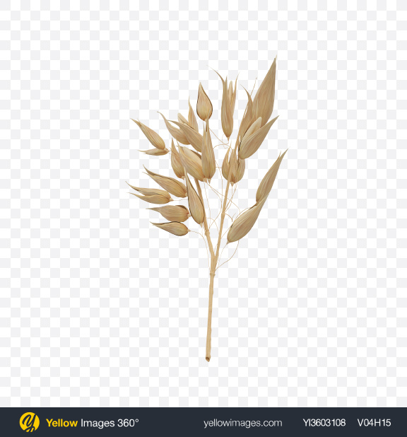 Download Oat Ear Transparent PNG on Yellow Images 360°