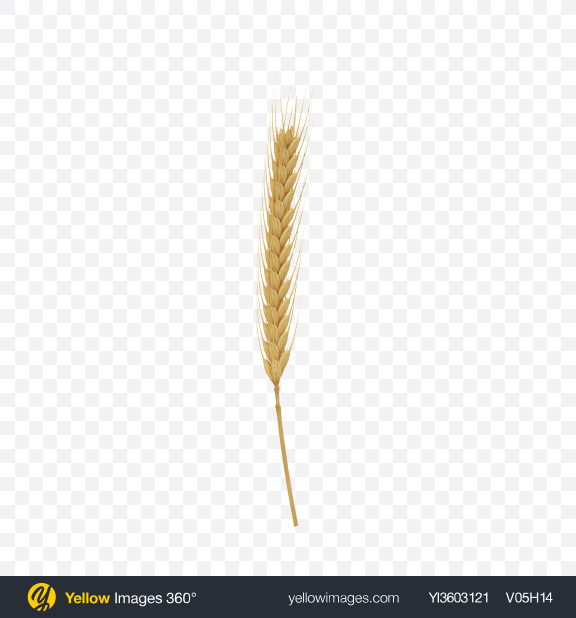 Download Rye Ear Transparent PNG on Yellow Images 360°