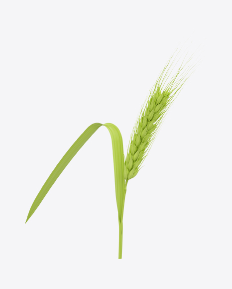 Unripe Green Barley Ear