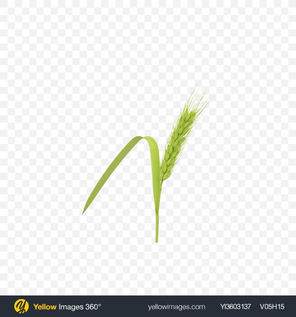 Download Unripe Green Barley Ear Transparent PNG on Yellow Images 360°