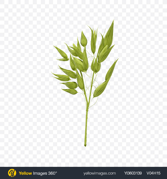 Download Unripe Green Oat Ear Transparent PNG on Yellow Images 360°