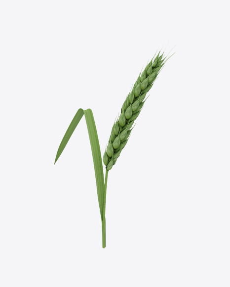 Unripe Green Wheat Ear