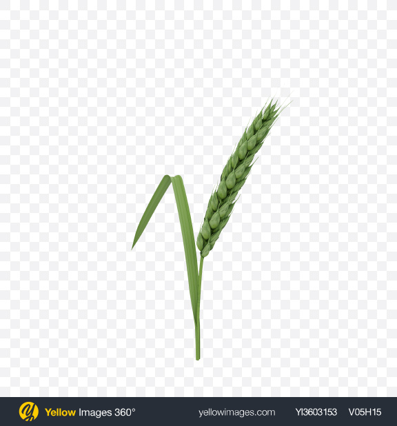 Download Unripe Green Wheat Ear Transparent PNG on Yellow Images 360°