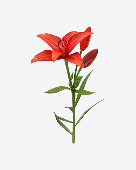 Red Lily Branch