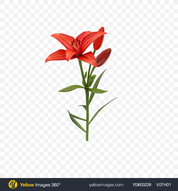 Download Red Lily Branch Transparent PNG on Yellow Images 360°