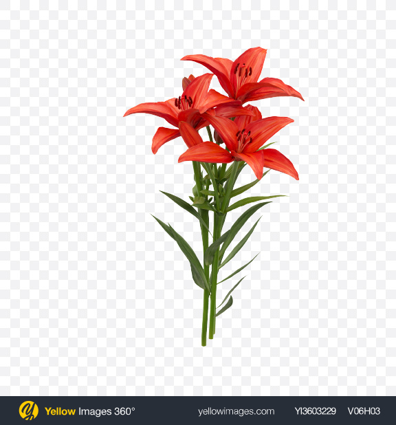 Download Red Lily Bouquet Transparent PNG on Yellow Images 360°