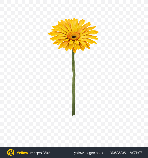 Download Yellow Gerbera on Stem Transparent PNG on Yellow Images 360°
