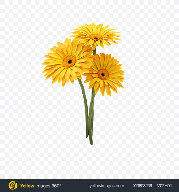 Download Yellow Gerbera Bouquet Transparent PNG on YELLOW Images