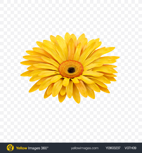Download Yellow Gerbera Flower Transparent PNG on Yellow Images 360°