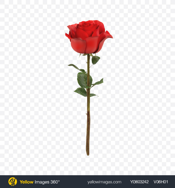 Download Red Rose Branch Transparent PNG on Yellow Images 360°